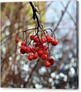 Frozen Mountain Ash Berries Canvas Print