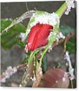 Frozen Rosebud Canvas Print