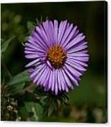 Full Aster Canvas Print