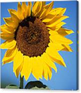 Full Sunflower Canvas Print