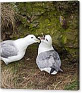 Fulmar Pair Bonding Canvas Print
