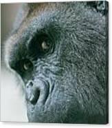 Funny Gorilla Canvas Print