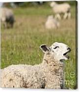 Funny Sheep Canvas Print