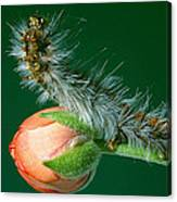 Furry Caterpillar Canvas Print