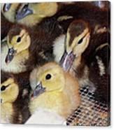 Fuzzy Ducklings Canvas Print