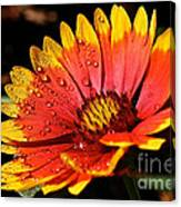 Gaillardia Flower Canvas Print