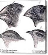 Galapagos Finches Canvas Print