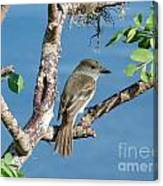 Galapagos Flycatcher Canvas Print