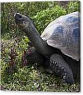 Galapagos Tortoise Inching Along Canvas Print