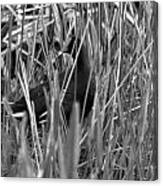 Gallinule In The Grass Canvas Print