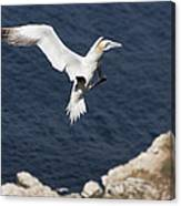 Gannet Landing Canvas Print