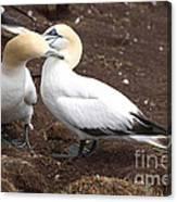 Gannets Showing Mutual Preening Behavior Canvas Print