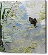 Garden Duck Canvas Print