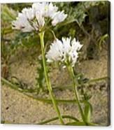 Garlic (allium Sub Villosum) Canvas Print