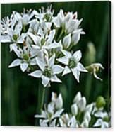 Garlic Chive Blooms Canvas Print