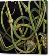 Garlic Heads Canvas Print