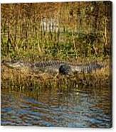 Gator Break Canvas Print