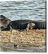 Gator Time Canvas Print