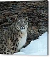 Gaze Of The Snow Leopard Canvas Print
