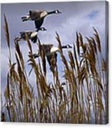 Geese Coming In For A Landing Canvas Print