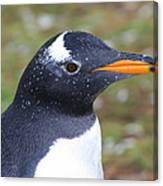 Gentoo Penguin Head Shot Canvas Print