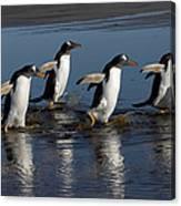 Gentoo Penguin Pygoscelis Papua Group Canvas Print