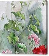 Geraniums Canvas Print