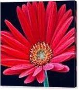 Gerbera Daisy 1 Canvas Print