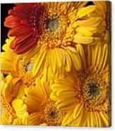 Gerbera Daisy With Orange Petals Canvas Print
