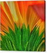 Gerbera Explosion Canvas Print
