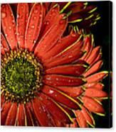 Gerbera Orange Canvas Print