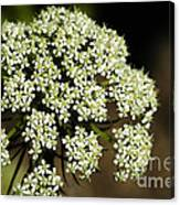 Giant Buckwheat Flower Canvas Print