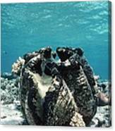 Giant Giant Clam Canvas Print