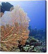 Giant Gorgonian Coral Canvas Print