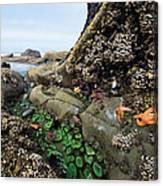 Giant Green Sea Anemone Anthopleura Canvas Print