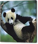 Giant Panda Cub Resting In A Tree Canvas Print