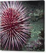 Giant Red Sea Urchin Canvas Print