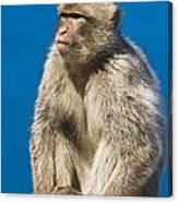 Gibraltar Barbary Macaque Macaca Canvas Print