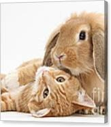 Ginger Kitten Lying With Sandy Lionhead Canvas Print