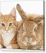 Ginger Kitten With Sandy Lionhead-cross Canvas Print