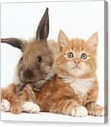 Ginger Kitten Young Lionhead-lop Rabbit Canvas Print