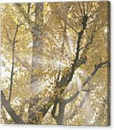 Ginkgo Tree With Sunlight Streaming Canvas Print