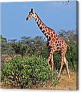 Giraffe Against Blue Sky Canvas Print