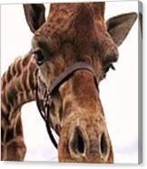 Giraffe Big Nose Canvas Print