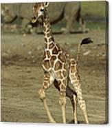 Giraffe Giraffa Camelopardalis Juvenile Canvas Print