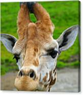Giraffe In The Park Canvas Print
