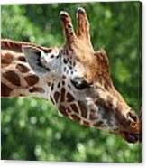 Giraffe's Tongue Canvas Print