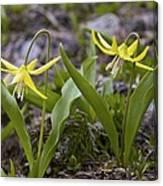 Glacier Lilies (erythronium Montanum) Canvas Print