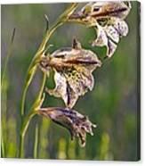 Gladiolus Maculatus Flowers Canvas Print
