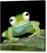 Glass Frog 01 Canvas Print